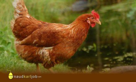 La mentalité de poulet !